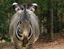 Зебра есть сено на зоопарке Стоковые Изображения
