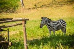 Зебра есть траву в зеленом поле в солнечном дне Стоковое фото RF
