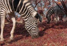 Зебра есть траву с красной травой Lubango anisette Стоковое Фото