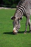 Зебра есть траву Стоковые Фото
