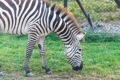 Зебра есть траву Стоковая Фотография RF