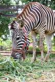 Зебра есть траву Стоковые Изображения