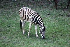 Зебра есть траву Стоковое Фото
