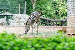 Зебра есть траву Стоковое фото RF