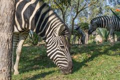 Зебра есть траву Lubango anisette Стоковое Изображение