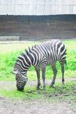 Зебра ест зеленую траву Стоковые Изображения