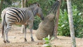 Зебра ест сено в зоопарке видеоматериал