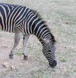 Зебра ест Стоковое Фото