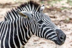 Зебра живет в открытом зоопарке Стоковое Изображение