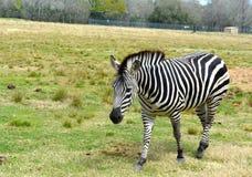 Зебра живой природы Стоковые Фото