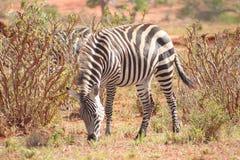 Зебра запятнанная в глуши стоковые фотографии rf