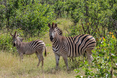 Зебра зебры Equus зебры Burchels Стоковое Фото