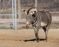 Зебра идя в свое приложение на зоопарке Brookfield Стоковое фото RF