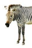 Зебра изолированная на белой предпосылке Стоковая Фотография RF