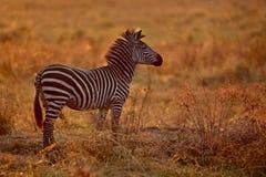 Зебра из большого табуна во время большой миграции в masai mara Стоковое Изображение RF