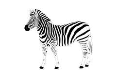зебра иллюстрации Стоковые Изображения