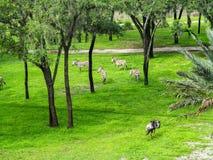 Зебра и антилопа гну стоковые изображения rf
