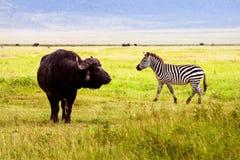 Зебра и буйвол Afrivan в зоне консервации кратера Ngorongoro вышесказанного Танзания стоковое фото