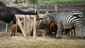 Зебра и другие экзотические животные есть совместно от фидера на зоопарке акции видеоматериалы