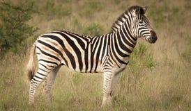 Зебра и его нашивки в одичалом Стоковое Фото