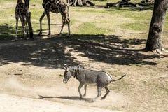 Зебра и жирафы Стоковые Фотографии RF