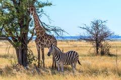 Зебра и жираф получая некоторую тень на саванне национального парка Etosha, Намибии, Африки стоковые фото