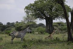 Зебра и жираф сидя совместно Стоковые Фото
