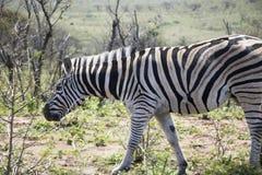 Зебра идя вперед Стоковые Изображения