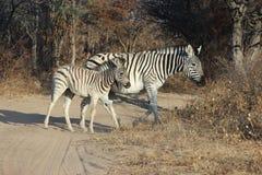 Зебра идя через дорогу Стоковая Фотография