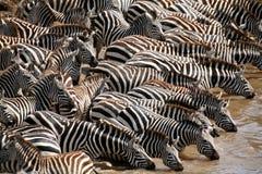 зебра Кении Стоковое Изображение