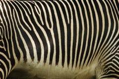зебра кожи детали Стоковое Изображение