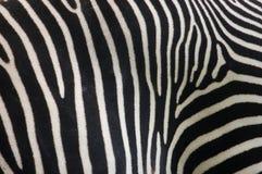 зебра кожи шерсти Стоковое Изображение RF