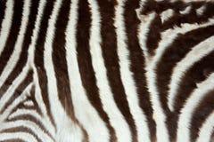 зебра кожи Стоковое Изображение RF
