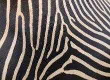зебра кожи Стоковое фото RF
