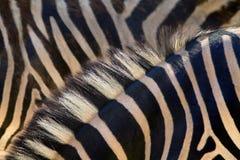 зебра кожи horsehair детали предпосылки Стоковое Изображение RF