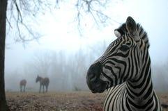 Зебра которая Стоковые Фото