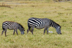 Зебра, кратер Ngorongoro Стоковые Изображения