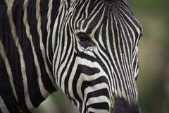 зебра крупного плана Стоковое Изображение