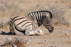 Зебра лежа вниз, Etosha, Намибия Стоковые Изображения RF