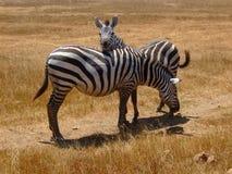 зебра любовников Стоковое фото RF