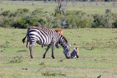 Зебра мамы и ее детеныши Стоковая Фотография