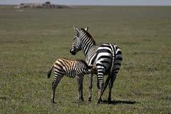 зебра мамы младенца стоковое изображение rf