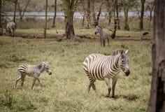 зебра мати младенца Стоковые Фото