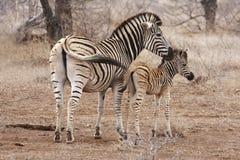 зебра мати осленка Стоковые Изображения