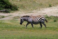 Зебра медленно идет вдоль поля Стоковая Фотография