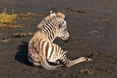 зебра младенца земная лежа Стоковое Фото