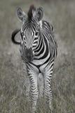 зебра младенца стоковое изображение