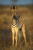 зебра младенца Стоковая Фотография