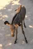 Зебра младенца Стоковые Изображения