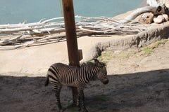 Зебра младенца стоя в тени Стоковые Изображения RF
